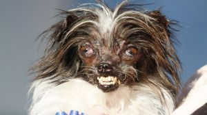 AP_Worlds_ugliest_dog_peanut1_bc_140621_16x9_992